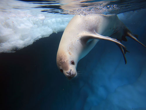 crabeater seal underwater photography