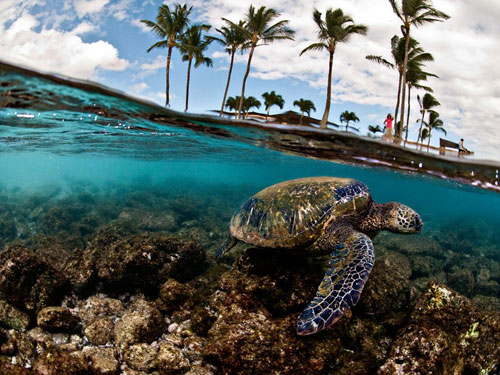 green sea turtle hawaii photography
