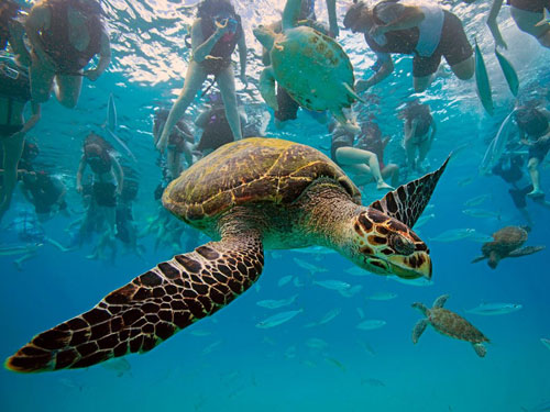 hawksbill turtle barbados photography