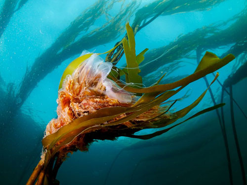 lions mane jellyfish photography