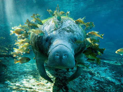 manatee and fish photography