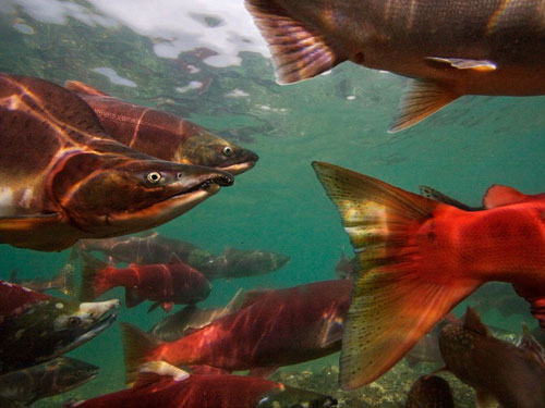 pacific salmon migrating photography