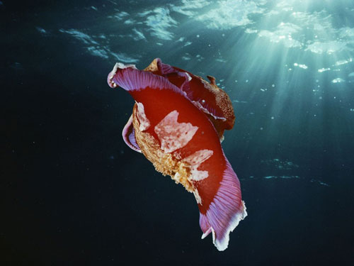 spanish dancer nudibranch doubilet photography