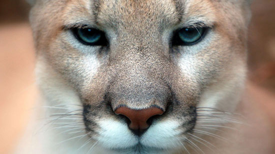 Mountain lion Photography Wallpaper