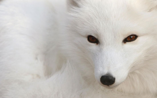 White fox Photography Wallpaper