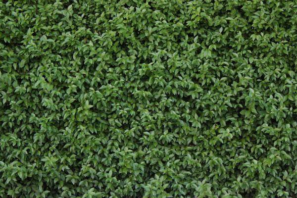 Hedge texture